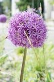 Flor del ajo Fotos de archivo