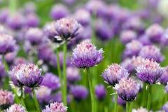 Flor del ajo Foto de archivo