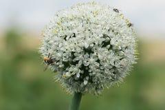 Flor del ajo con una abeja Foto de archivo libre de regalías