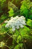 Flor del ajo o de la cebolla en el campo Agricultura imagen de archivo libre de regalías