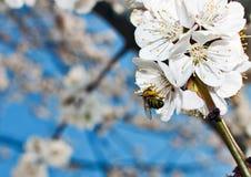 Flor del albaricoque Imagen de archivo libre de regalías