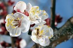 Flor del albaricoque Foto de archivo
