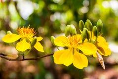 Flor del albaricoque Fotos de archivo libres de regalías