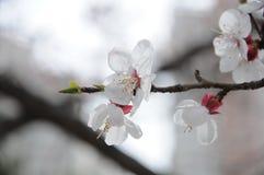 Flor del albaricoque foto de archivo libre de regalías