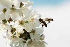 Flor del albaricoque con las abejas en fondo Fotografía de archivo