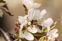 Flor del albaricoque con una abeja en ella Fotos de archivo libres de regalías