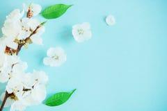 Flor del albaricoque de la primavera en un fondo azul Imagen de archivo libre de regalías