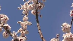 Flor del albaricoque en el jard?n