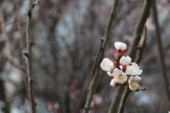 Flor del albaricoque Albaricoque floreciente Apenas llovido encendido Fondo enmascarado Flores rosadas y blancas Fondo caliente d foto de archivo
