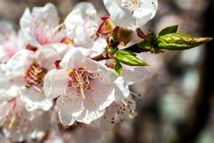 Flor del albaricoque flores blanco-rosadas en un ?rbol totalmente desnudo de la calma imágenes de archivo libres de regalías