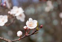 Flor del albaricoquero con los brotes que florecen en la primavera fotos de archivo libres de regalías