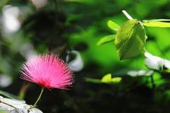 Flor del Albizia Foto de archivo