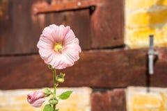 Flor del Alcea en flora rosada llena Imagen de archivo libre de regalías