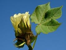 Flor del algodón Imagen de archivo