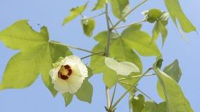 Flor del algodón Fotografía de archivo