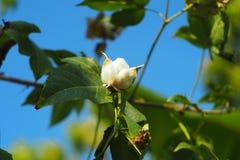 Flor del algodón Imágenes de archivo libres de regalías