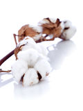 Flor del algodón sobre la ramificación Imagen de archivo libre de regalías