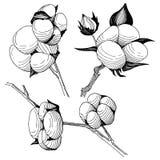 Flor del algodón del Wildflower en un estilo del vector aislada Fotografía de archivo libre de regalías