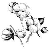 Flor del algodón del Wildflower en un estilo del vector aislada Imágenes de archivo libres de regalías