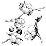 Flor del algodón del Wildflower en un estilo del vector aislada Imagen de archivo