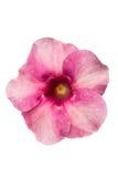 flor del allamanda imagenes de archivo