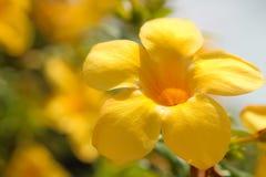 flor del allamanda Fotos de archivo