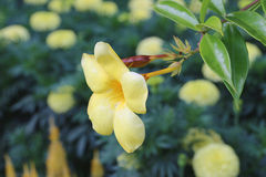 flor del allamanda Foto de archivo