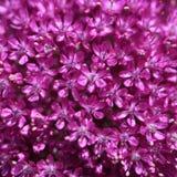 Flor del allium Fotos de archivo