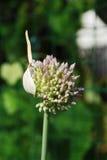 Flor del allium Fotos de archivo libres de regalías