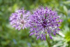 Flor del allium (cebolla salvaje) foto de archivo