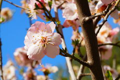 FLOR DEL ALMENDRO Royalty Free Stock Images