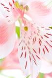 Flor del Alstroemeria/ Foto de archivo
