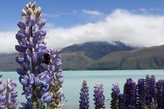 Flor del altramuz con la abeja, lago Pukaki, Nueva Zelanda Fotos de archivo libres de regalías