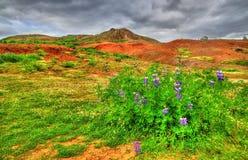 Flor del altramuz en el valle de Haukadalur - Islandia foto de archivo libre de regalías