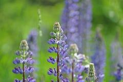 Flor del altramuz y fondo borroso Fotos de archivo