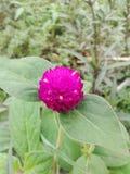 Flor del amaranto Fotos de archivo