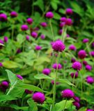 Flor del amaranto de globo Foto de archivo