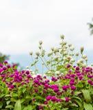 Flor del amaranto de globo Fotografía de archivo