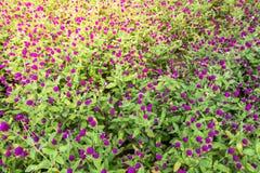 Flor del amaranto en el jardín con la luz del sol justa Fotografía de archivo libre de regalías