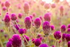 Flor del amaranto púrpura en el jardín con la luz del sol justa Foto de archivo