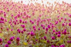 Flor del amaranto púrpura en el jardín con la luz del sol justa Imagen de archivo libre de regalías