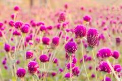 Flor del amaranto púrpura en el jardín con la luz del sol justa Fotos de archivo
