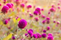 Flor del amaranto púrpura en el jardín con la luz del sol justa Fotografía de archivo libre de regalías