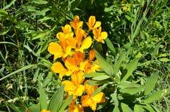 Flor del amarillo de Amancay contra fondo verde Foto de archivo libre de regalías
