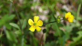 Flor del amarillo de la hierba de prado, la mayor?a del v?deo amarillo hermoso y vivo del hd de la flor, almacen de video