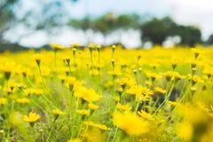 Flor del amarillo de la margarita de Dahlberg que florece en jardín imagen de archivo