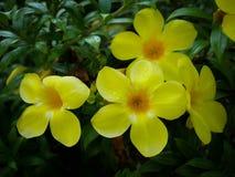 Flor del amarillo del cathartica del Allamanda Fotos de archivo