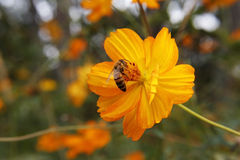 Flor del amarillo del cosmos del amarillo del sulphureus del cosmos, abeja Fotos de archivo libres de regalías
