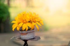 Flor del amarillo del girasol mexicano en el florero Fotografía de archivo