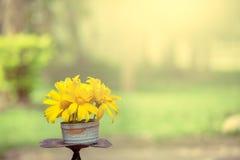 Flor del amarillo del girasol mexicano en el florero Fotos de archivo libres de regalías